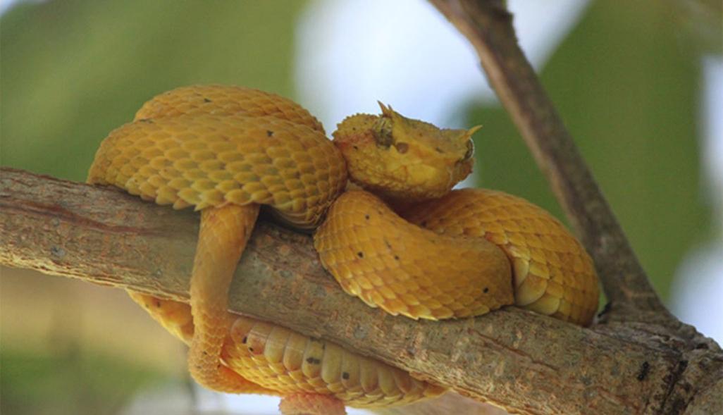Laguna Eyelash Viper