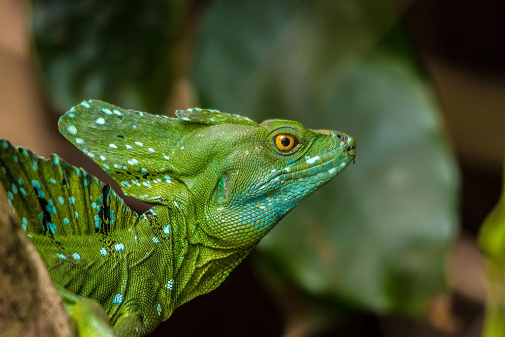 Laguna emerald basilisk
