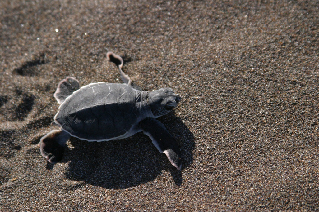 Manatus Wildlife Turtle