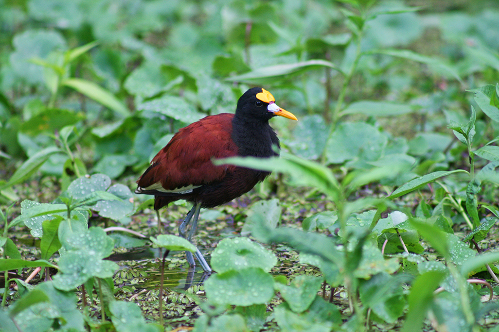 Manatus Northern Jacana