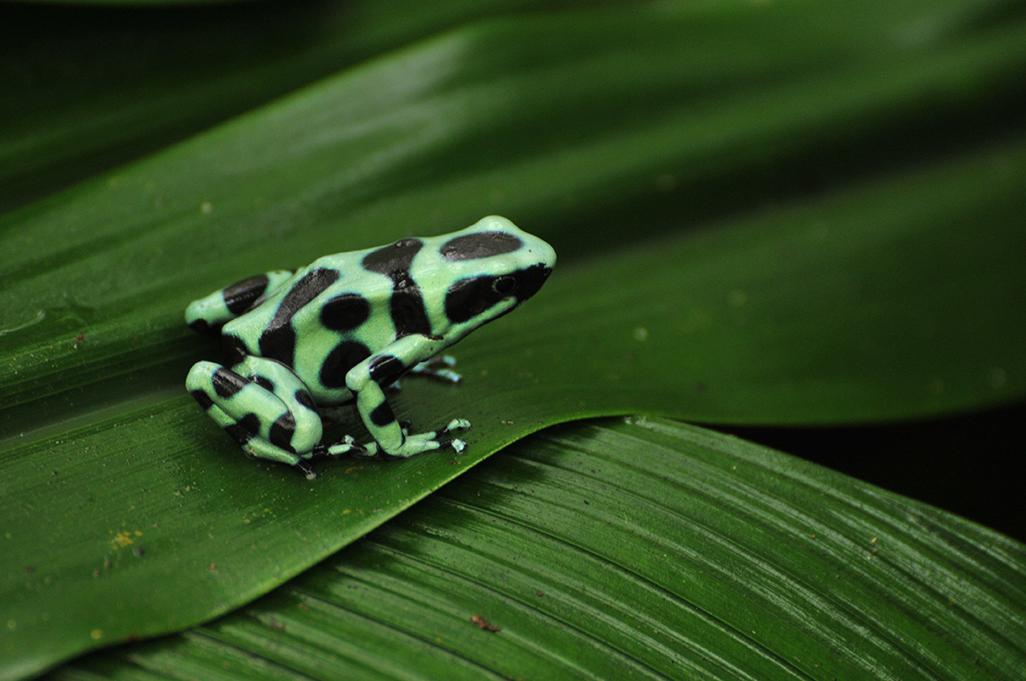 Mawamba dart frog