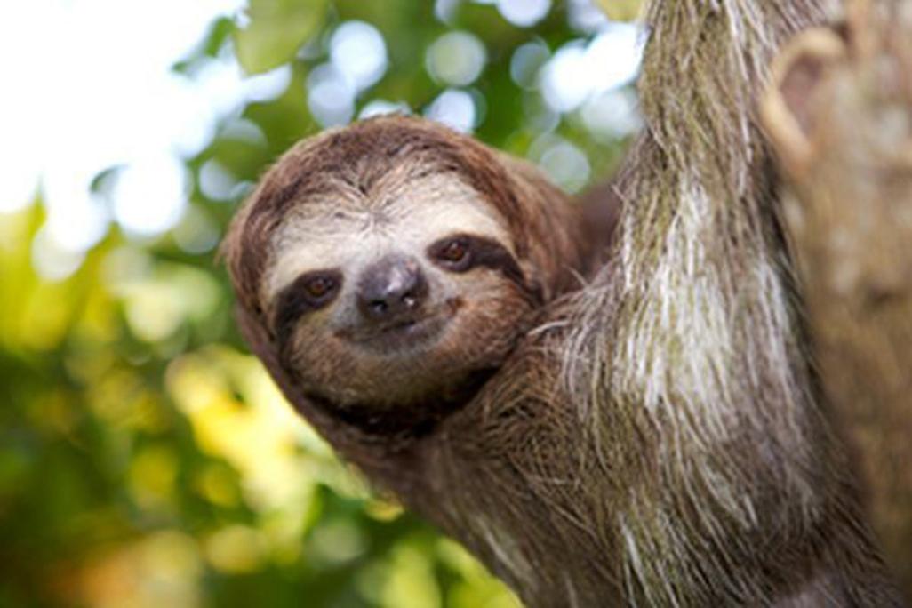 Selva Bananito Sloth