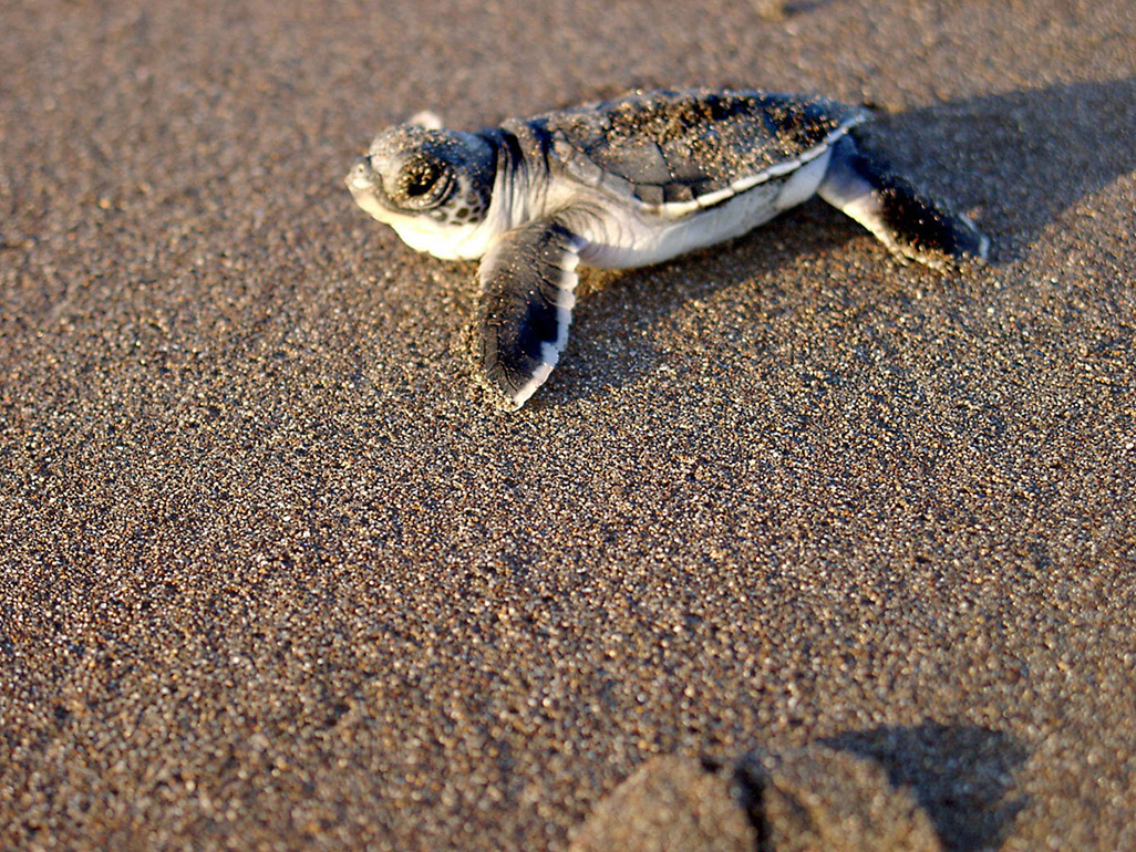 Turtle Beach Baby Turtle