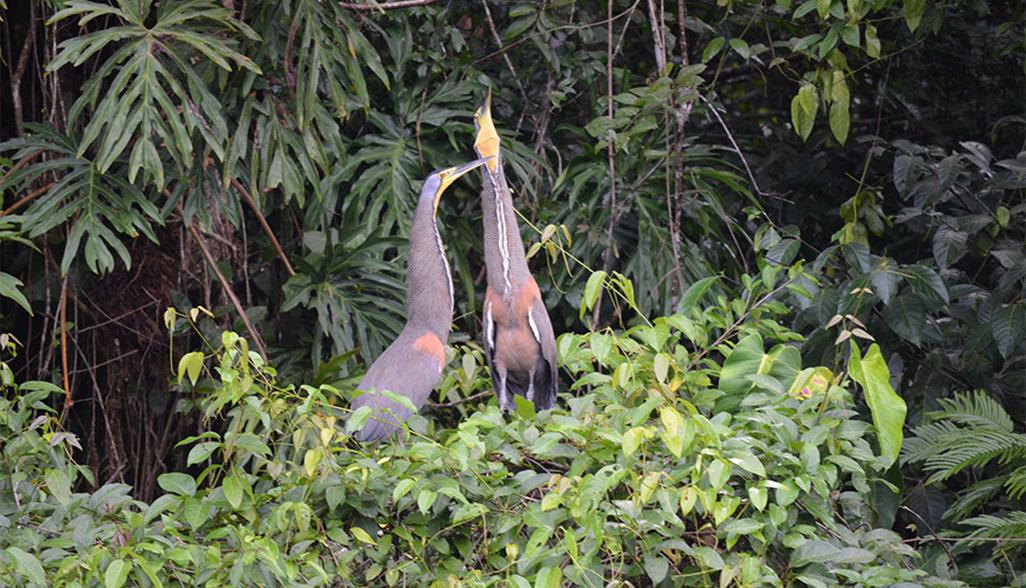 laguna lodge bare-throated tiger heron