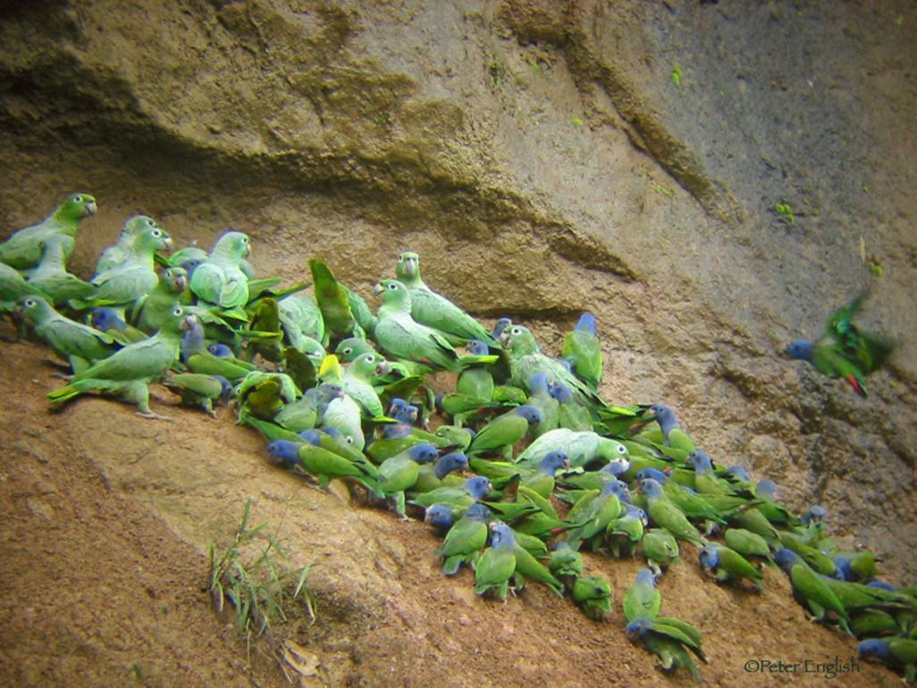 NWC_parrots_1